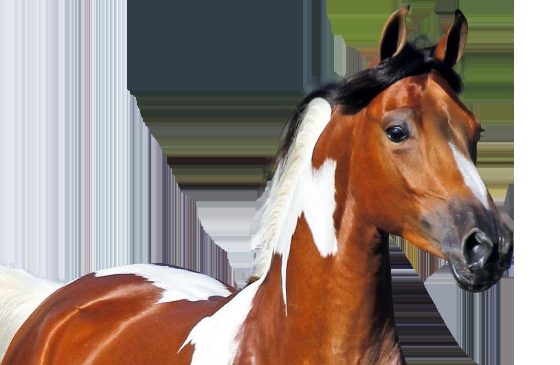 Gevlekt paard
